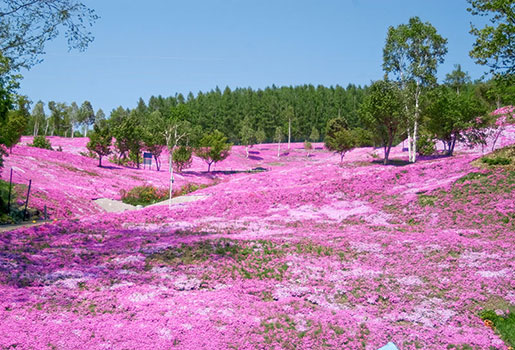 Snow at asahidake br and moss pink flowers snow at asahidake moss pink flowers takinoue park mightylinksfo