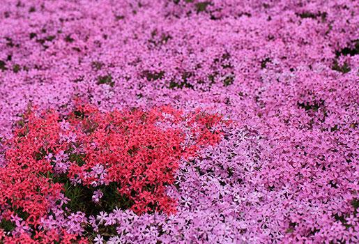 Snow at asahidake br and moss pink flowers snow at asahidake prev mightylinksfo